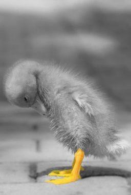 duck-feet