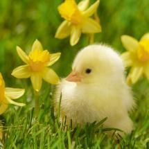 chick and daffodils