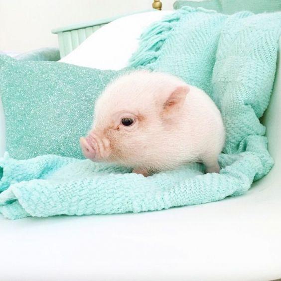 cute piglet