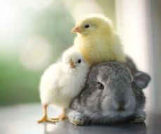 cutebunny and chix