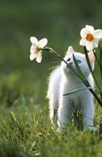 kitten and daffodils